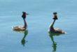 Grèbes huppés sur le Lac du Der