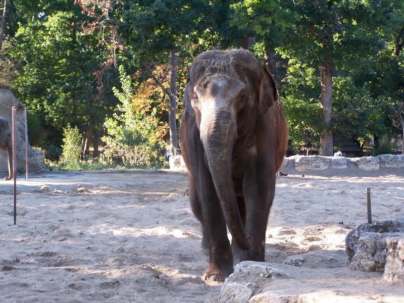 Shinto l'éléphant du Zoo de la Palmyre