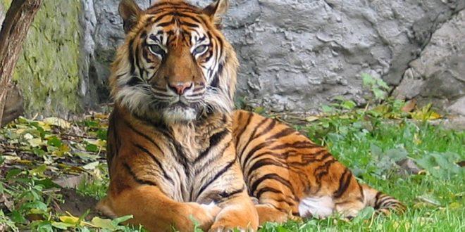 Tigre du Monde Sauvage d'Aywaille