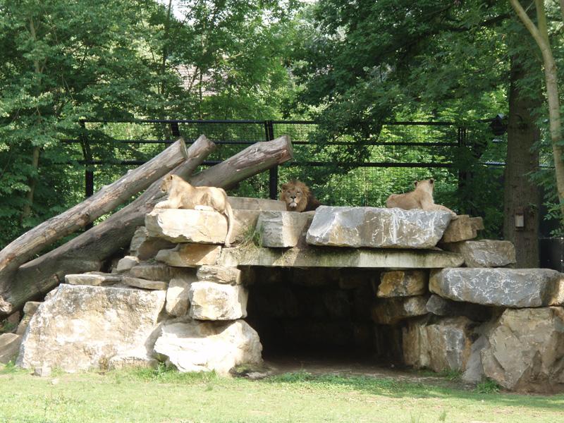 Les lions du zoo de Planckendael
